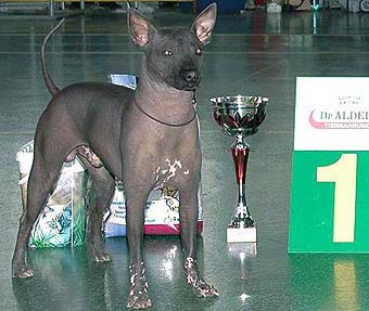 xoloitzcuintle Tcentavr Ajger Obessa